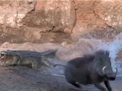 Clip: Lợn rừng và hươu thoát chết trong gang tấc trước hàm cá sấu
