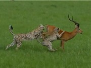 Clip: Báo săn mất ăn đáng tiếc vì quá khinh địch