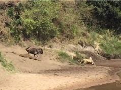 Clip: Sư tử bị linh dương đầu bò đuổi chạy thục mạng