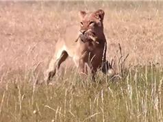 Clip: Sư tử tàn sát bầy đà điểu con