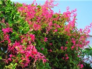 Kỹ thuật trồng và chăm sóc hoa tigon để hoa nở quanh năm