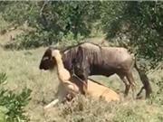 Clip: Linh dương đầu bò nỗ lực giành sự sống trước hàm sư tử