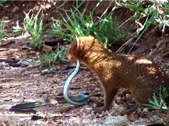 Clip: Cầy Mangut hạ sát rắn mamba đen sau màn giao chiến