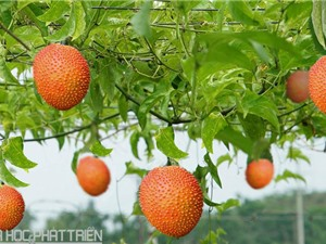 Tập đoàn TH đầu tư trồng dược liệu sạch ở Nghệ An