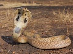 Ấp trứng nhân tạo để bảo tồn gen loài rắn hổ mang