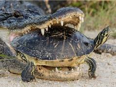 Clip: Bắt được rùa, cá sấu vẫn bất lực trong việc xử lý