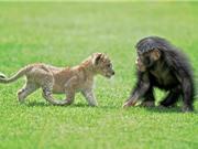 Tình bạn cảm động giữa sư tử và khỉ đột con