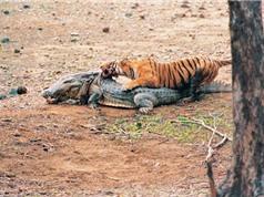 Clip: Hổ hạ sát cá sấu khổng lồ trong tích tắc