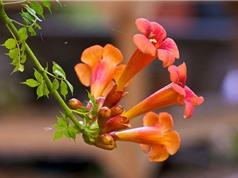 Đăng tiêu - Loài hoa đẹp có thể làm thuốc