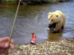 Clip: Gấu xám khổng lồ ngang nhiên cướp cá của cần thủ