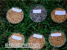 Việt Nam hoàn toàn làm chủ được công nghệ sản xuất giống lúa