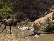 Sư tử bị linh dương đầu bò con đuổi chạy trối chết