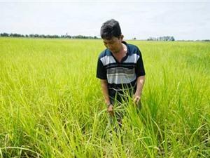 An Giang: Bảo tồn giống lúa mùa nổi vùng tứ giác Long Xuyên