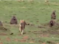 Clip: Khỉ đầu chó tấn công báo săn, cứu sống linh dương Impala