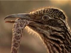 Clip: Gà lôi đuôi dài hạ gục rắn chuông sau cuộc chiến kịch tính