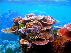 Bà Rịa - Vũng Tàu: Phục hồi các rạn san hô cứng tại Khu Ramsar Côn Đảo
