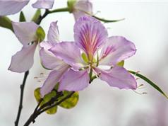 Vẻ đẹp của loài hoa biểu trưng của vùng Tây Bắc