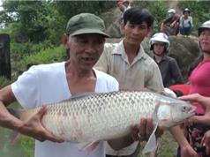 """Clip: Hàng trăm người đổ xô đi săn cá """"khủng"""" ở thủy điện Trị An"""