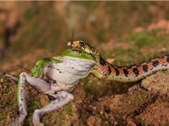 """Cận cảnh loài rắn biết """"chiết xuất"""" độc từ cóc ở Việt Nam"""