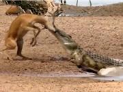 Clip: Linh dương Impala chết thảm vì sừng quá dài