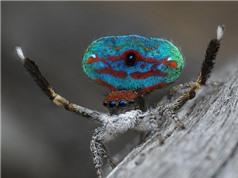 Độc chiêu quyến rũ bạn tình của nhện nhảy
