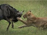 Clip: Linh dương đầu bò chết thảm vì… quá ham ngủ