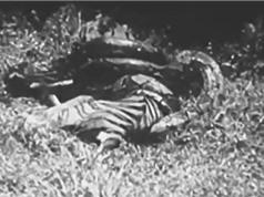 CLIP ĐỘNG VẬT ĐẠI CHIẾN ẤN TƯỢNG NHẤT TUẨN: Trăn khổng lồ giết hổ, sư tử hành hạ khỉ đầu chó