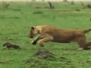 Clip: Lợn rừng mẹ bất lực nhìn con bị sư tử hạ sát