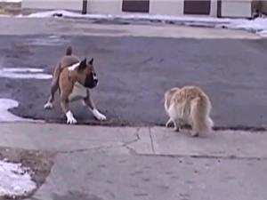 Clip: Những tình huống mèo nổi điên, tấn công chó
