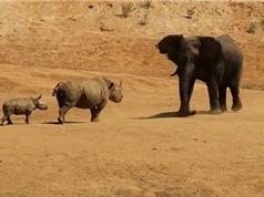 Clip: Tê giác tấn công voi để bảo vệ con