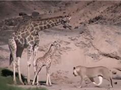 Clip: Hươu cao đạp chết con khi bị sư tử bao vây