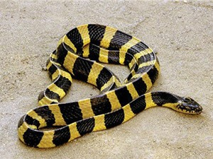 Loài rắn độc của Việt Nam khiến lính Mỹ khiếp sợ