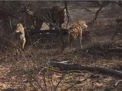 """Clip: Sư tử đực bị bầy linh cẩu ăn hiếp khi """"sa cơ lỡ vận"""""""