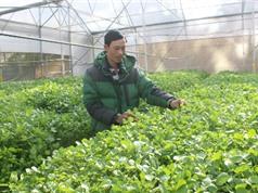 Lâm Đồng: Người trồng xà lách xoong thuỷ canh duy nhất ở Đà Lạt