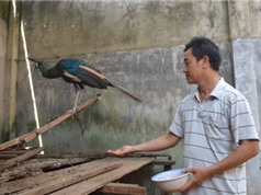 Tỷ phú từ nghề nuôi chim khổng tước trên đất Tây Nguyên