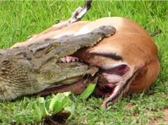 Clip: Linh dương Impala thoát chết ngoạn mục trước hàm cá sấu