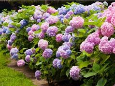 Kỹ thuật trồng và chăm sóc hoa cẩm tú cầu cho sắc hoa theo ý muốn