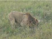 Clip: Sư tử đực trổ tài săn nhím