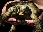Rùa hai đầu sống lâu kỷ lục
