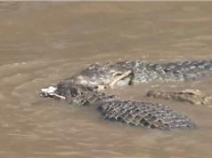 Clip: Đàn cá sấu xé xác ngựa vằn non