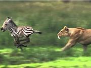 Clip: Bị lạc mẹ, ngựa vằn con chết thảm trước sư tử