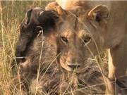 Clip: Mai phục tài tình, sư tử dễ dàng tóm gọn linh dương đầu bò
