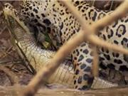 Clip: Báo đốm đoạt mạng cá sấu trong chớp mắt