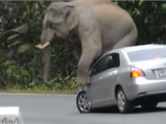 Clip: Voi rừng dẫm lốp, đạp gương, ngồi nát capô xe du khách