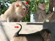 Quảng Nam: Thả một cá thể khỉ đuôi lợn quí hiếm về môi trường tự nhiên
