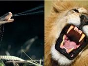 Clip: Bị hổ mang phun độc, sư tử kêu rống bỏ chạy