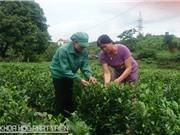 Xã viên Hợp tác xã chè Tân Hương: Nhiều ấn tượng sâu sắc về bà Nguyễn Thị Nhài