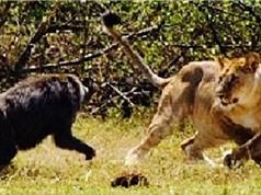 Clip: Khỉ đầu chó phản đòn, đuổi sư tử chạy thục mạng