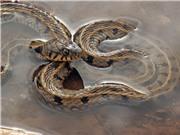 CẢNH GIÁC: Bão lớn khiến rắn cắn người gia tăng