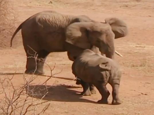 Clip: Màn giao chiến kịch liệt giữa voi với đàn tê giác